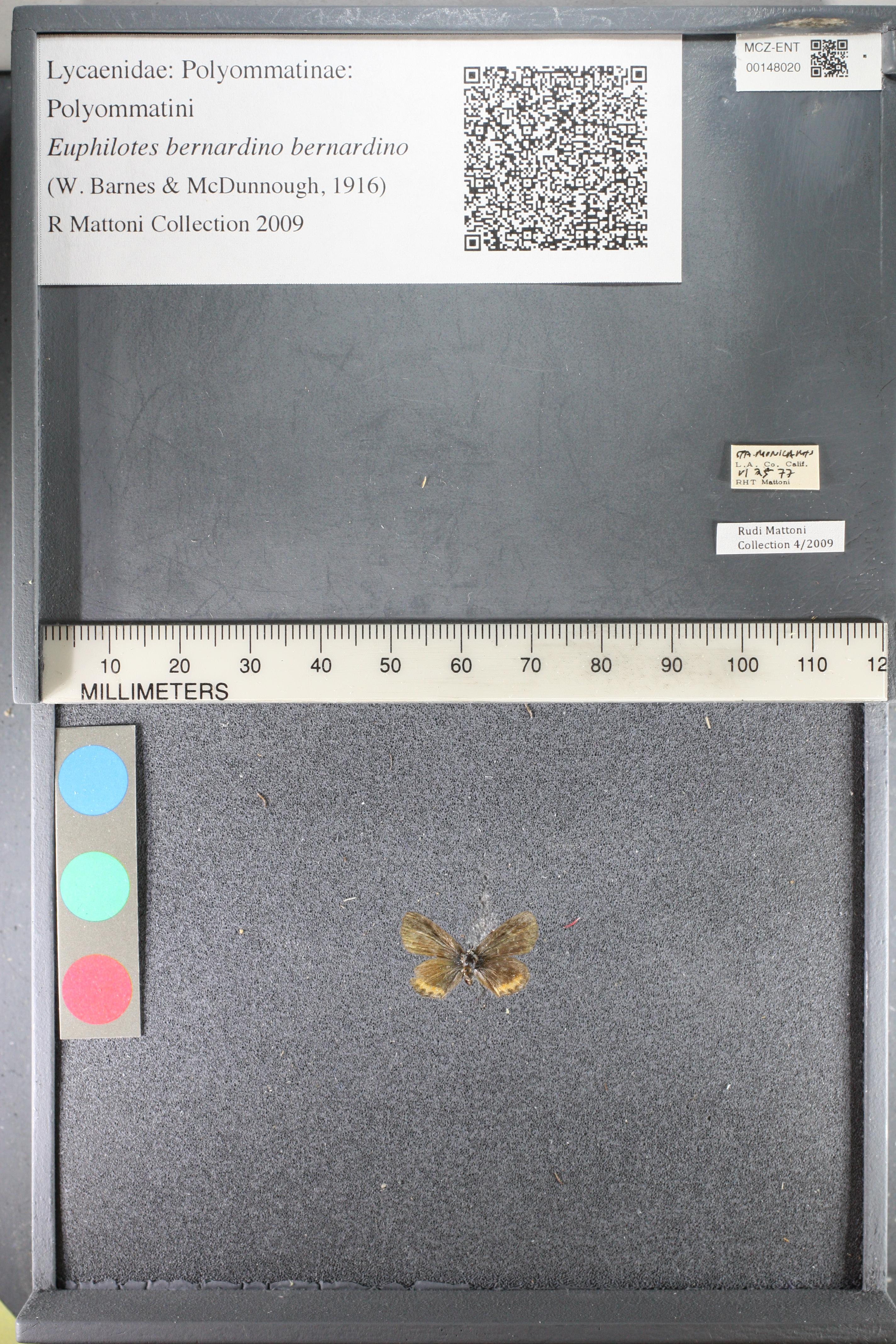 Media of type image, MCZ:Ent:148020 Identified as Euphilotes bernardino bernardino.