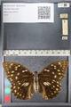 http://mczbase.mcz.harvard.edu/specimen_images/ent-lepidoptera/images/2011_10_24/IMG_105154.JPG