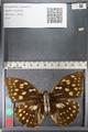 http://mczbase.mcz.harvard.edu/specimen_images/ent-lepidoptera/images/2011_10_24/IMG_105156.JPG