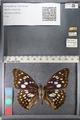 http://mczbase.mcz.harvard.edu/specimen_images/ent-lepidoptera/images/2011_10_24/IMG_105164.JPG