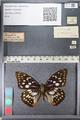 http://mczbase.mcz.harvard.edu/specimen_images/ent-lepidoptera/images/2011_10_24/IMG_105166.JPG