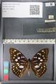 http://mczbase.mcz.harvard.edu/specimen_images/ent-lepidoptera/images/2011_10_24/IMG_105171.JPG