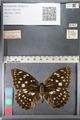 http://mczbase.mcz.harvard.edu/specimen_images/ent-lepidoptera/images/2011_10_24/IMG_105172.JPG