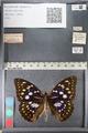http://mczbase.mcz.harvard.edu/specimen_images/ent-lepidoptera/images/2011_10_24/IMG_105173.JPG