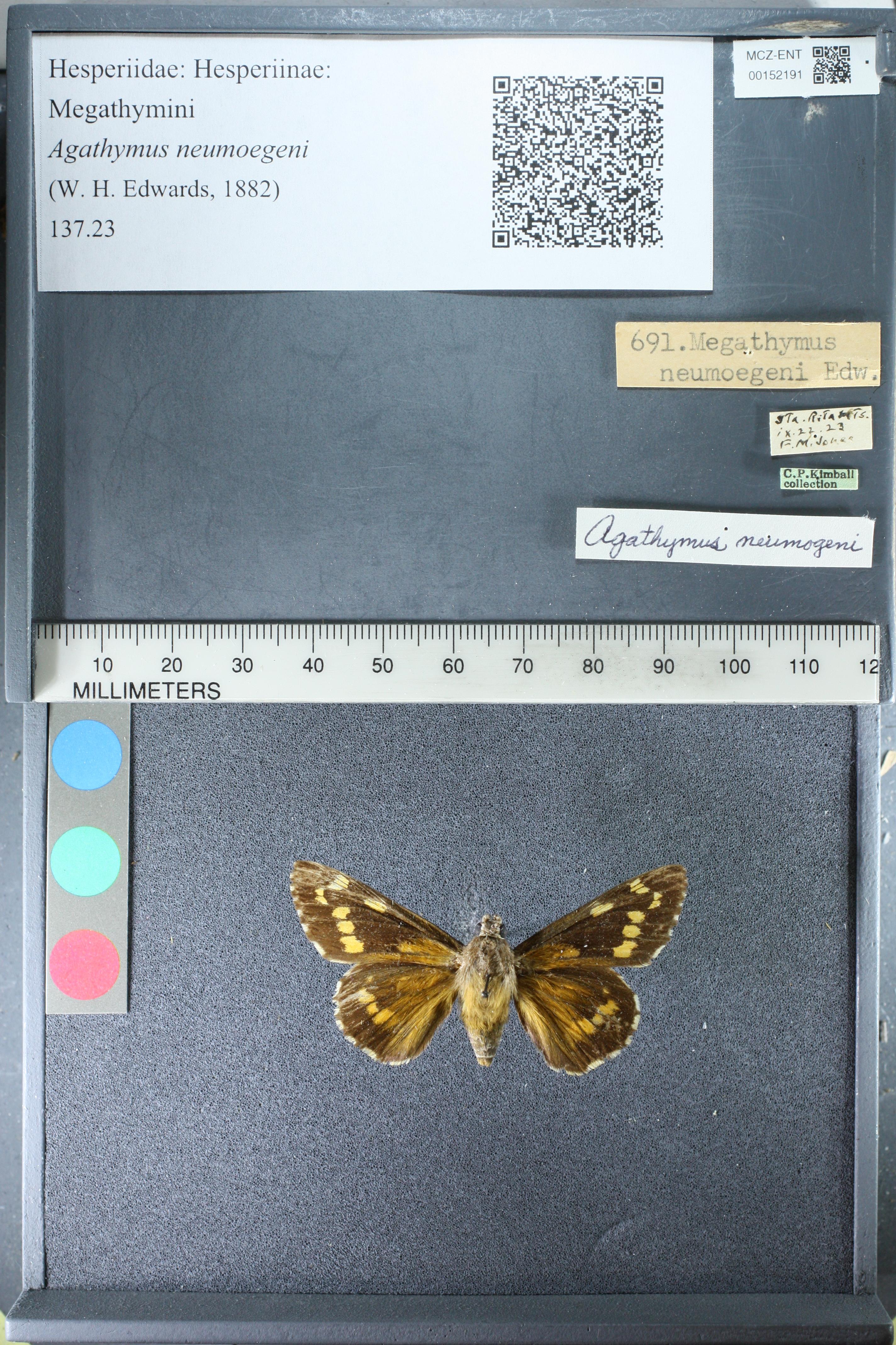 Agathymus neumoegeni image