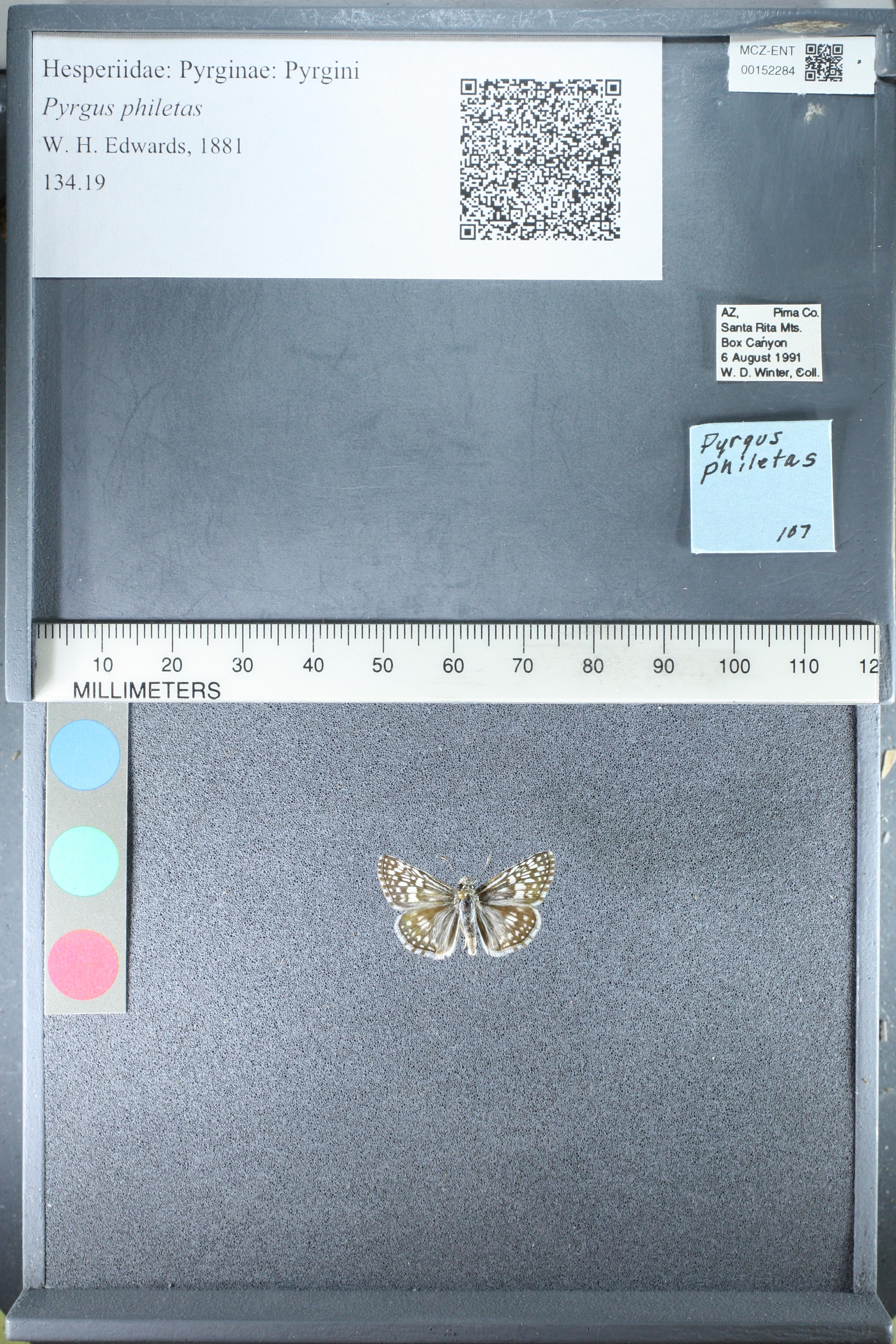 Pyrgus oileus image