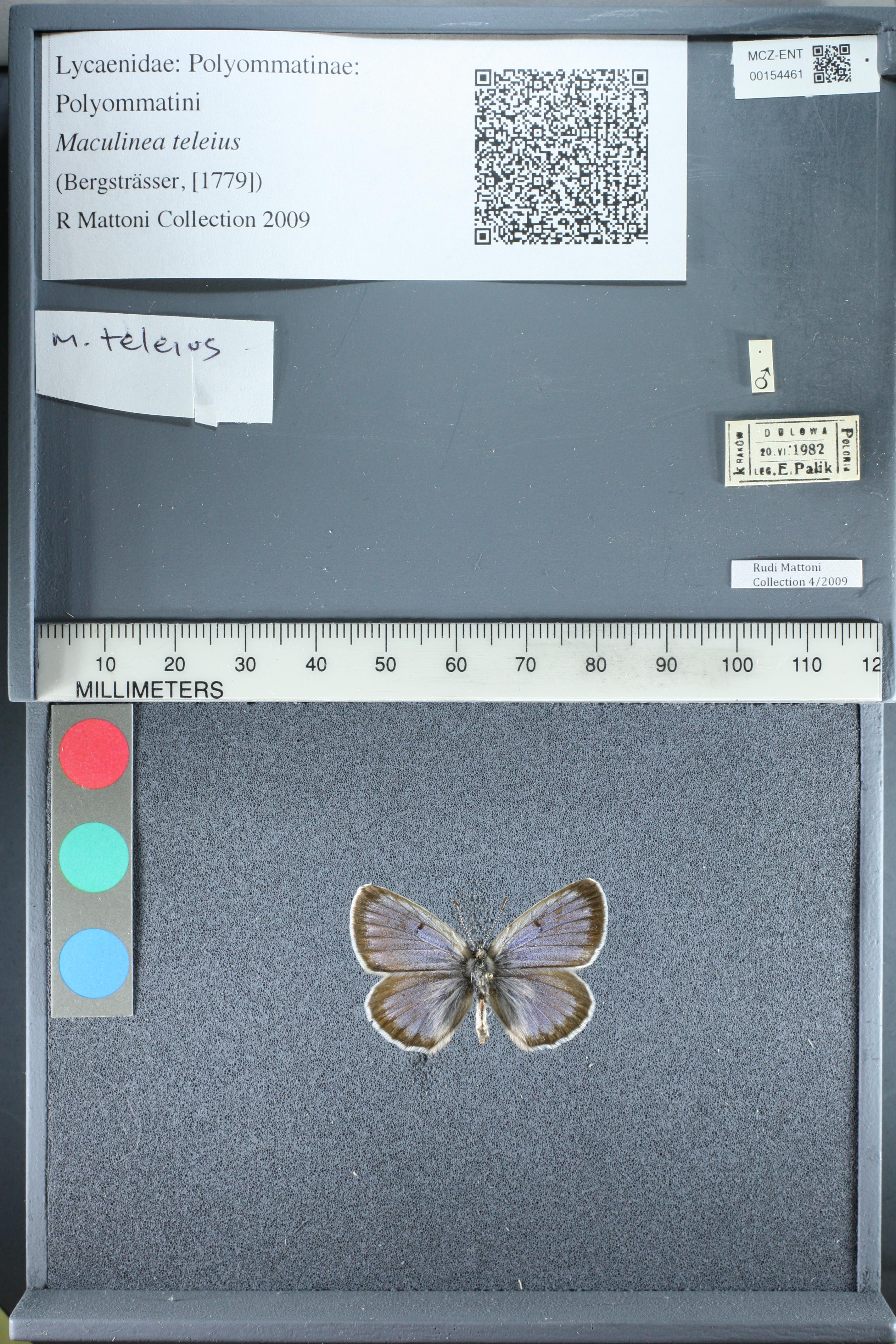 Media of type image, MCZ:Ent:154461 Identified as Phengaris teleius.