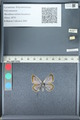 http://mczbase.mcz.harvard.edu/specimen_images/ent-lepidoptera/images/2012_01_09/IMG_109968.JPG