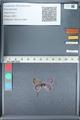 http://mczbase.mcz.harvard.edu/specimen_images/ent-lepidoptera/images/2012_01_09/IMG_109979.JPG