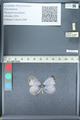 http://mczbase.mcz.harvard.edu/specimen_images/ent-lepidoptera/images/2012_01_09/IMG_109983.JPG