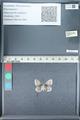 http://mczbase.mcz.harvard.edu/specimen_images/ent-lepidoptera/images/2012_01_09/IMG_110057.JPG