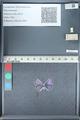 http://mczbase.mcz.harvard.edu/specimen_images/ent-lepidoptera/images/2012_01_09/IMG_110066.JPG