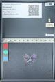 http://mczbase.mcz.harvard.edu/specimen_images/ent-lepidoptera/images/2012_01_09/IMG_110067.JPG