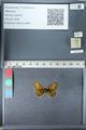 http://mczbase.mcz.harvard.edu/specimen_images/ent-lepidoptera/images/2012_02_04/IMG_111572.JPG