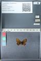 http://mczbase.mcz.harvard.edu/specimen_images/ent-lepidoptera/images/2012_02_04/IMG_111579.JPG