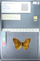 http://mczbase.mcz.harvard.edu/specimen_images/ent-lepidoptera/images/2012_02_27/IMG_112838.JPG