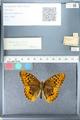 http://mczbase.mcz.harvard.edu/specimen_images/ent-lepidoptera/images/2012_03_10/IMG_113678.JPG