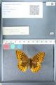 http://mczbase.mcz.harvard.edu/specimen_images/ent-lepidoptera/images/2012_03_10/IMG_113681.JPG