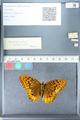 http://mczbase.mcz.harvard.edu/specimen_images/ent-lepidoptera/images/2012_03_10/IMG_113683.JPG