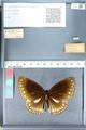 http://mczbase.mcz.harvard.edu/specimen_images/ent-lepidoptera/images/2012_03_26/IMG_114423.JPG