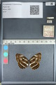 http://mczbase.mcz.harvard.edu/specimen_images/ent-lepidoptera/images/2012_04_09/IMG_115648.JPG