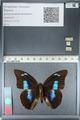 http://mczbase.mcz.harvard.edu/specimen_images/ent-lepidoptera/images/2012_04_19/IMG_116764.JPG
