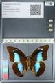 http://mczbase.mcz.harvard.edu/specimen_images/ent-lepidoptera/images/2012_04_19/IMG_116766.JPG