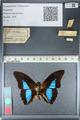 http://mczbase.mcz.harvard.edu/specimen_images/ent-lepidoptera/images/2012_04_19/IMG_116768.JPG