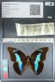 http://mczbase.mcz.harvard.edu/specimen_images/ent-lepidoptera/images/2012_04_19/IMG_116772.JPG