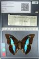 http://mczbase.mcz.harvard.edu/specimen_images/ent-lepidoptera/images/2012_04_19/IMG_116773.JPG