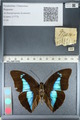 http://mczbase.mcz.harvard.edu/specimen_images/ent-lepidoptera/images/2012_04_19/IMG_116781.JPG