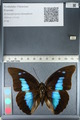 http://mczbase.mcz.harvard.edu/specimen_images/ent-lepidoptera/images/2012_04_19/IMG_116782.JPG