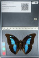 http://mczbase.mcz.harvard.edu/specimen_images/ent-lepidoptera/images/2012_04_19/IMG_116788.JPG