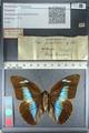 http://mczbase.mcz.harvard.edu/specimen_images/ent-lepidoptera/images/2012_04_19/IMG_116792.JPG