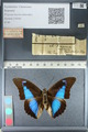 http://mczbase.mcz.harvard.edu/specimen_images/ent-lepidoptera/images/2012_04_19/IMG_116793.JPG