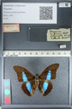 http://mczbase.mcz.harvard.edu/specimen_images/ent-lepidoptera/images/2012_04_19/IMG_116805.JPG