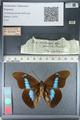 http://mczbase.mcz.harvard.edu/specimen_images/ent-lepidoptera/images/2012_04_19/IMG_116818.JPG