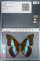 http://mczbase.mcz.harvard.edu/specimen_images/ent-lepidoptera/images/2012_04_19/IMG_116821.JPG
