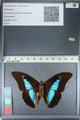 http://mczbase.mcz.harvard.edu/specimen_images/ent-lepidoptera/images/2012_04_19/IMG_116822.JPG