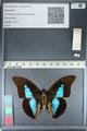 http://mczbase.mcz.harvard.edu/specimen_images/ent-lepidoptera/images/2012_04_19/IMG_116823.JPG