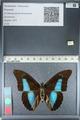 http://mczbase.mcz.harvard.edu/specimen_images/ent-lepidoptera/images/2012_04_19/IMG_116824.JPG