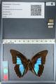 http://mczbase.mcz.harvard.edu/specimen_images/ent-lepidoptera/images/2012_04_19/IMG_116825.JPG