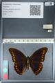 http://mczbase.mcz.harvard.edu/specimen_images/ent-lepidoptera/images/2012_04_19/IMG_116834.JPG