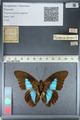 http://mczbase.mcz.harvard.edu/specimen_images/ent-lepidoptera/images/2012_04_19/IMG_116843.JPG