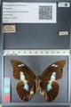 http://mczbase.mcz.harvard.edu/specimen_images/ent-lepidoptera/images/2012_04_19/IMG_116844.JPG
