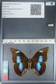 http://mczbase.mcz.harvard.edu/specimen_images/ent-lepidoptera/images/2012_04_19/IMG_116848.JPG