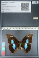 http://mczbase.mcz.harvard.edu/specimen_images/ent-lepidoptera/images/2012_04_19/IMG_116849.JPG
