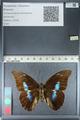 http://mczbase.mcz.harvard.edu/specimen_images/ent-lepidoptera/images/2012_04_19/IMG_116850.JPG