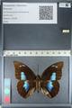 http://mczbase.mcz.harvard.edu/specimen_images/ent-lepidoptera/images/2012_04_19/IMG_116851.JPG