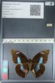 http://mczbase.mcz.harvard.edu/specimen_images/ent-lepidoptera/images/2012_04_19/IMG_116852.JPG